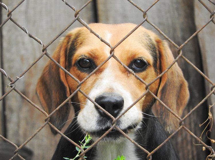 Beagle Versuchstier