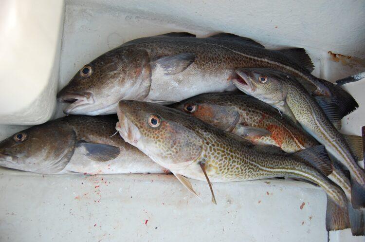 Kabeljau Fisch