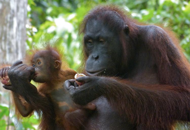 Orang-Utan-Mutter und Junges