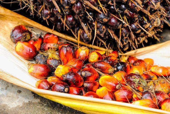 Palmöl Ölpalme