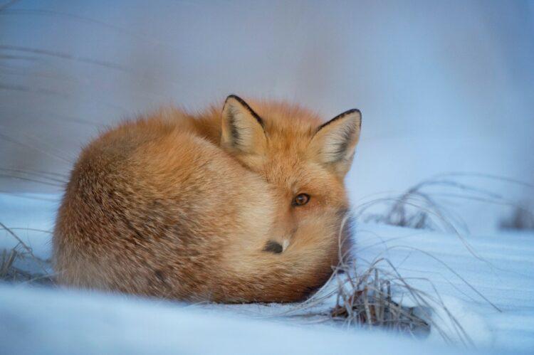 Fuchs Pelztiere