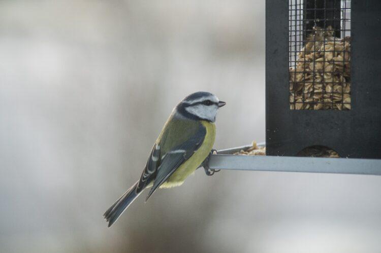 Kohlmeise Vogelhäuschen Winterfütterung