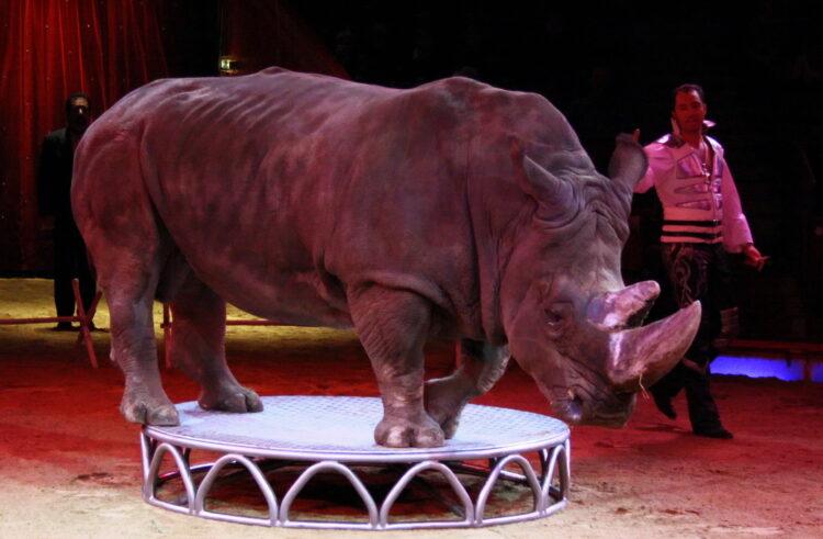 Nashorn, Zirkus