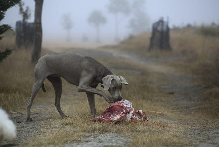 Hund Fleisch