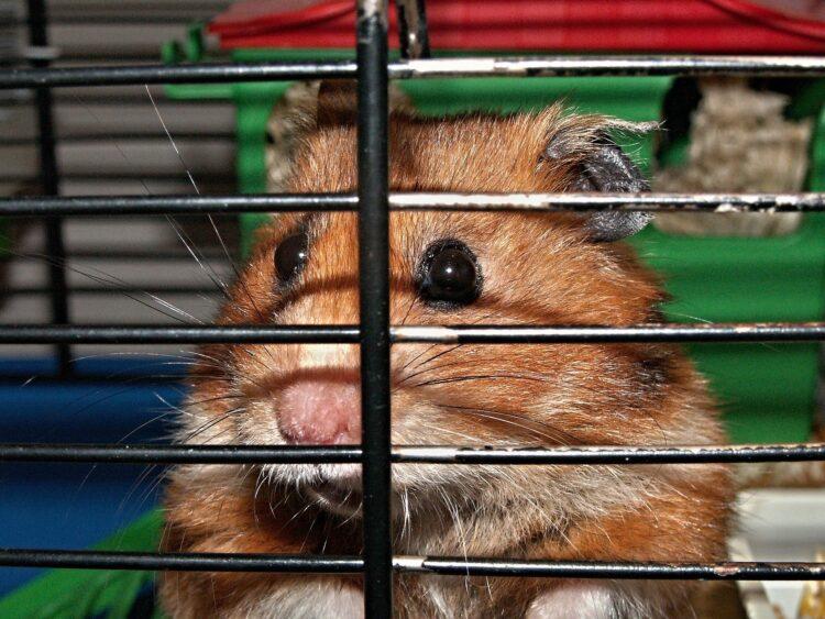 Hamster, Käfig