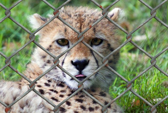 Gepard, Zoo