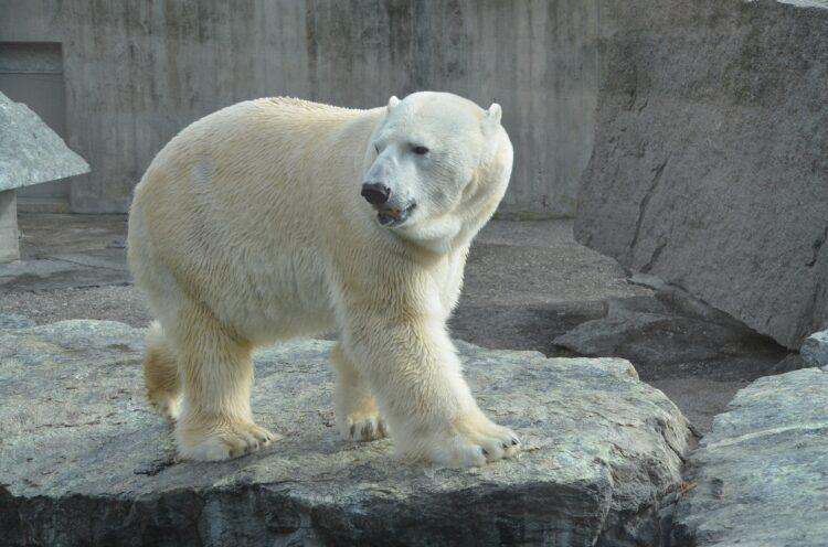 Eisbär, Zoo