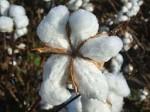 Baumwollkapsel_By Begonia.Begonia at de.wikipedia [CC-BY-SA-3.0