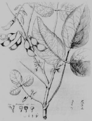 Soja-erste-Zeichnung_Engelbert Kaempfer-in-Sabine Egger_MA