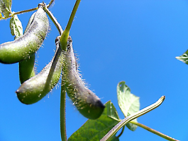 Soybeans_blauer-himmel_Dee West_CC BY-NC-SA 2.0_600