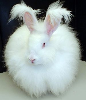 Angora_rabbit_