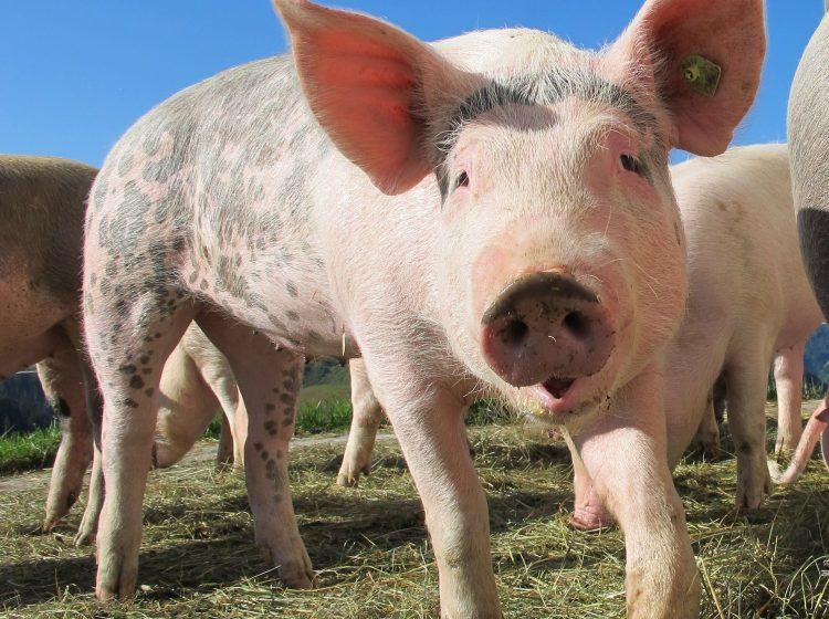 Schwein Freilandhaltung