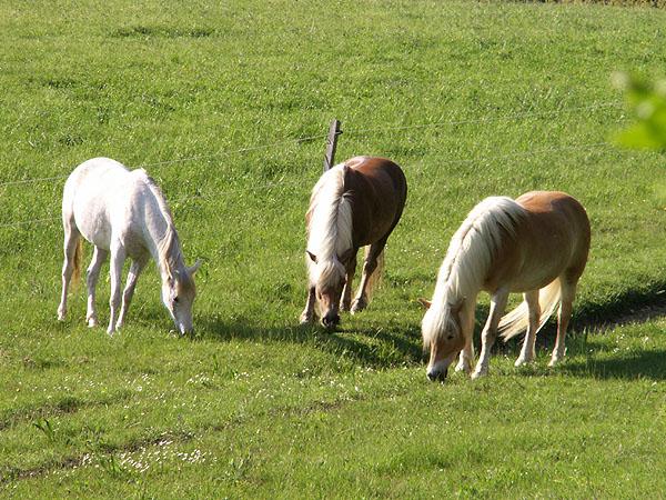 """Pferde sind Herdentiere und brauchen ihre """"Kumpels"""""""