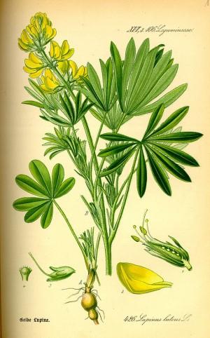 Die Lupine ist auch als Feig- oder Wolfsbohne bekannt. Bild: Lupinus luteus, Flora von Deutschland, Österreich und der Schweiz - 1885, Gera, Germany, biolib.de