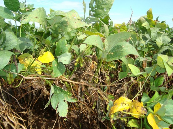 soybeans-326954_960_720