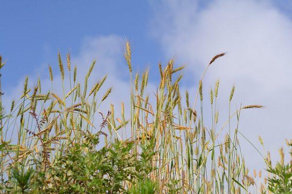 Getreide, Feld