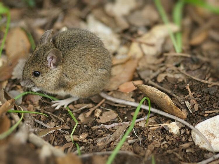 animalfair Maus