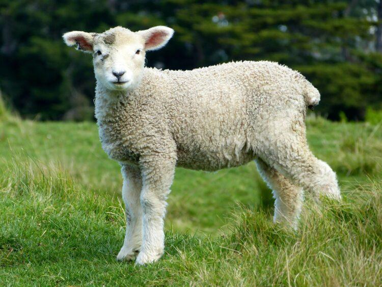 Mulesing Wolle
