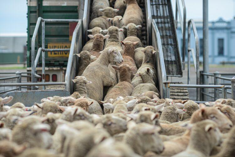Schafe LKW