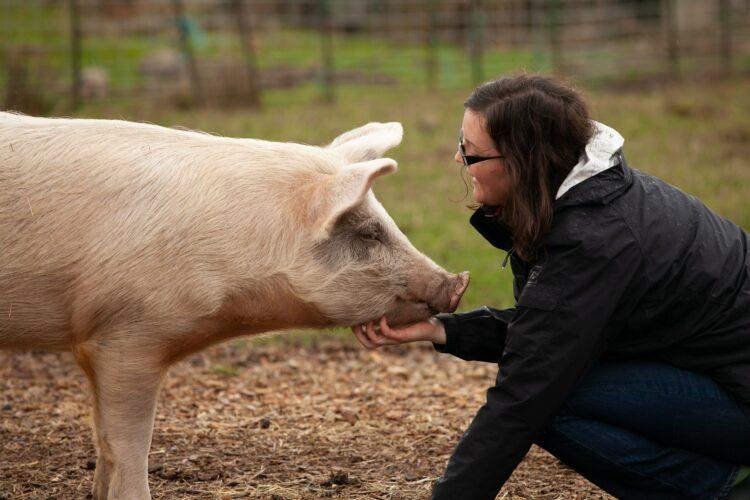 Schwein und Mensch