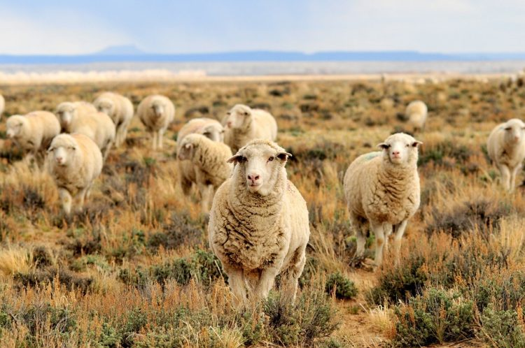 Schafe in trockenem Grasland
