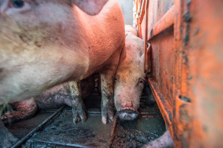 Schweine Transport