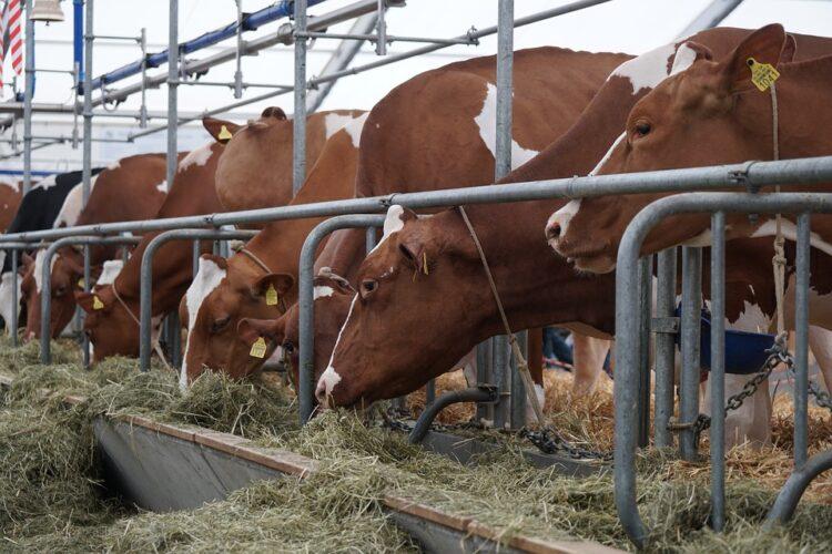 Kühe in Anbindehaltung