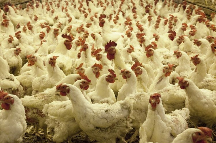 Vor lauter zerrupfter Hühner ist nicht mal der Boden zu sehen.