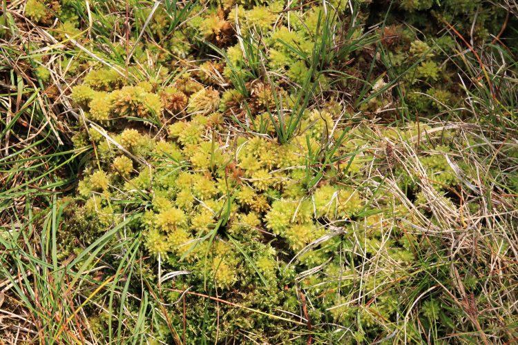 Moorboden bedeckt mit Torfmoos und anderen konkurrierenden Pflanzen