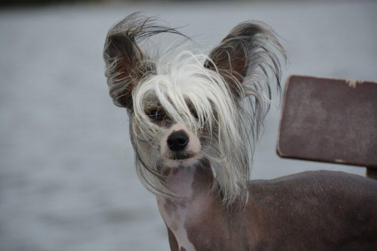 Qualzucht: Nackthunde