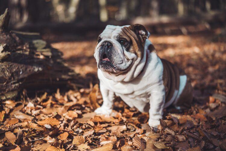 Qualszucht Merkmale der Englischen Bulldogge: eingedrückte Nase, schmale Hüfte, exzessive Falten