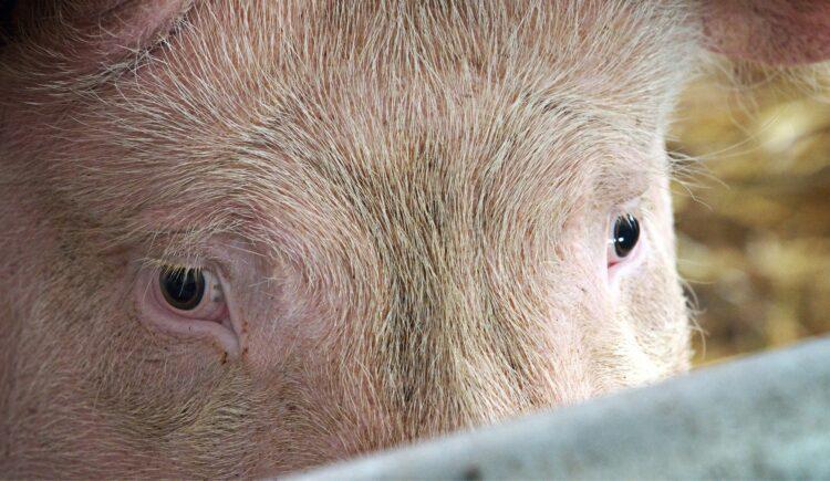 Schwein blickt traurig im Stall